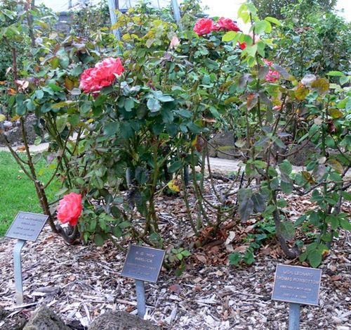 Macarthur & District Memorial Rose Garden : 14-May-2013