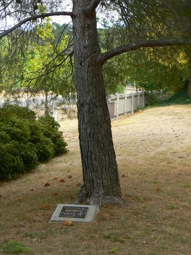 Maldon Aleppo Pine