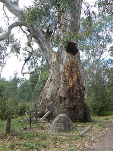 Shire of Strathfieldsaye Historic Tree