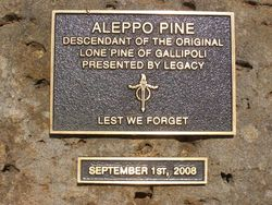Aleppo Pine Plaque : 19 - October-2014