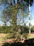 Anthony Larsen Tree