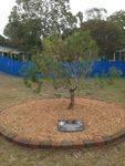 Beachmere State School Lone Pine