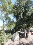 Bicentennial Trees : 01-February-2013