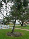 Gallipoli Pine : 11-June-2011