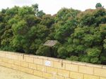 Leichhardt Park Olive Trees