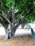 Honour Avenue Trees & Plaques : 27-05-2014